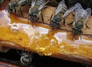 Як бджоли збирають пилок: збір і скидання пилку