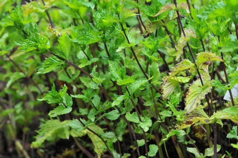 Збір трави м'яти — робимо корисні заготовки на зиму