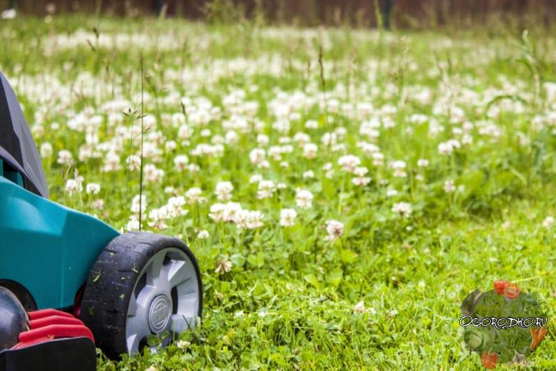 Біла конюшина для газону – як садити і коли, терміни, технологія + фото