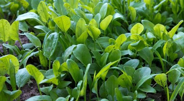 Чим обробити щавель від хвороб і шкідників: догляд за зеленню