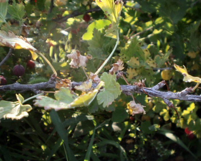 Скручування листя смородини: причини і методи боротьби