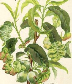 Хвороби персика, шкідники: жовтіють, червоніють, скручуються листя