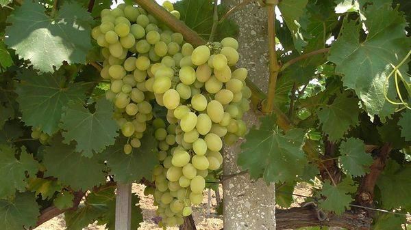 Збір винограду: скільки зріє і коли дозріває