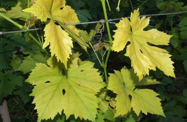 Жовтіє листя винограду: як знайти причину і що робити з кущем