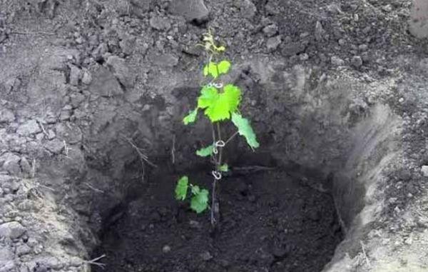 Коли пересаджувати виноград: влітку, навесні чи восени