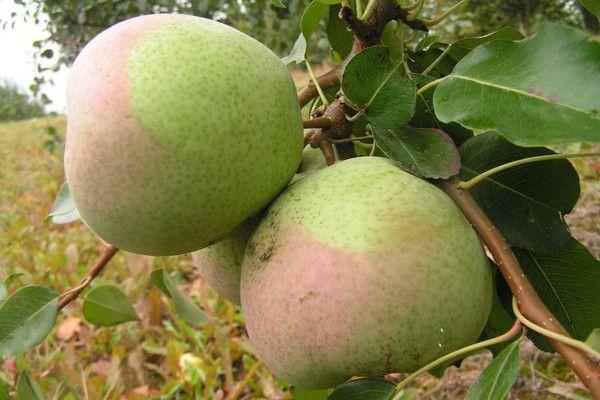 Груша Рогнеда: характеристика, опис сорту і вирощування